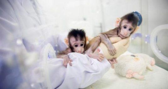 monos_chinos_clonados-620x330